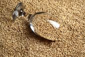 picture of malt  - Beer glass full of barley malt lying on malt grains - JPG