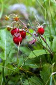 picture of strawberry plant  - some delicious wild strawberries on its plant - JPG