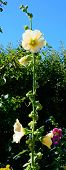 picture of hollyhock  - Yellow hollyhock flower outdoors in late summer garden Stockholm Sweden in August - JPG