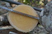 picture of section  - cross section cut log wood and saw - JPG