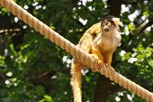 stock photo of baby-monkey  - little monkey on a rope with a baby on her back - JPG