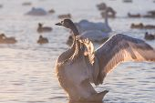 stock photo of spread wings  - Swan standing in the lake wings spread in a winter sunny day - JPG