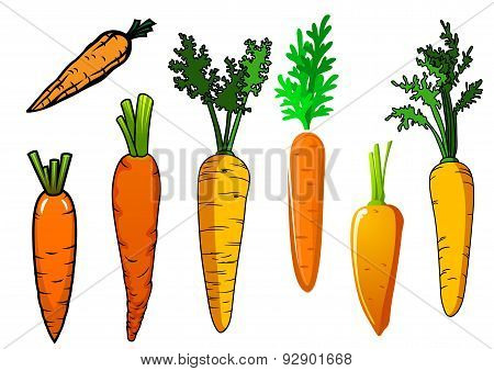 Fresh isolated orange carrot vegetables