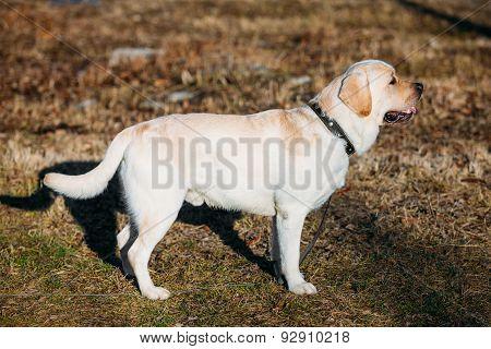 Beautiful White Labrador Lab Dog Outdoor Portrait