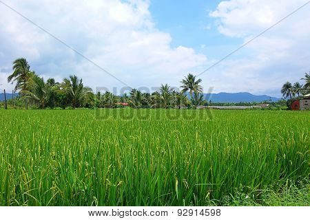 Lush And Green Rice Field With Palm Trees
