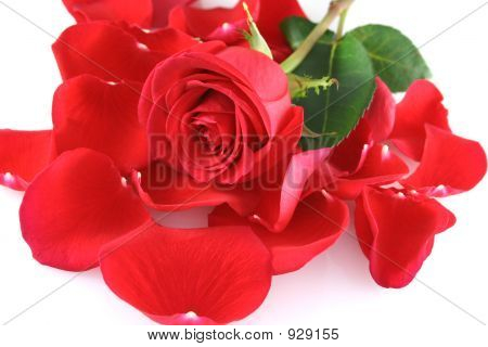Red Rose On Rose Petals