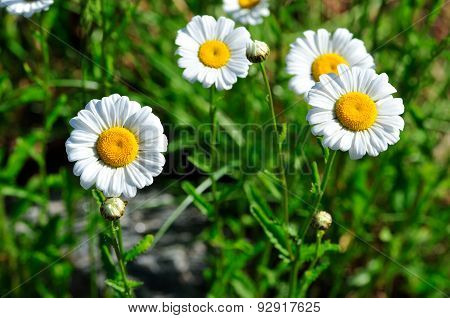 Chamomile flowers, meadow flowers meadow.