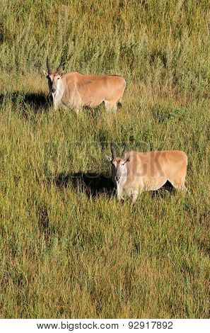 Aerial view of two eland antelopes (Tragelaphus oryx) in grassland, South Africa