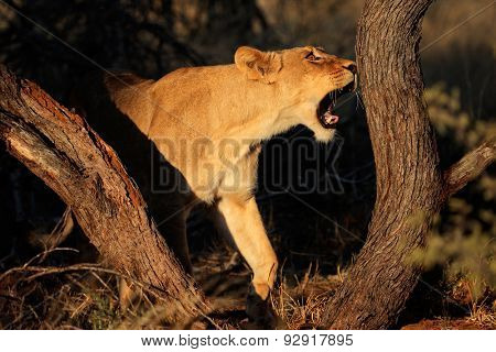 Lioness (Panthera leo) in natural habitat, South Africa