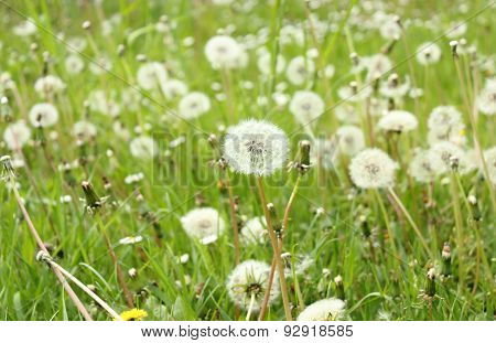 Field Of White Fluffy Dandelions