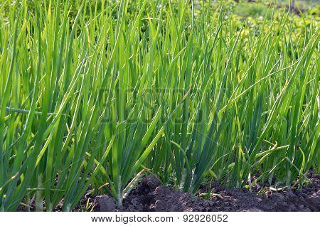 green onions growing in the garden, vegetables