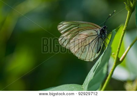 Transparent butterfly on a tree branch