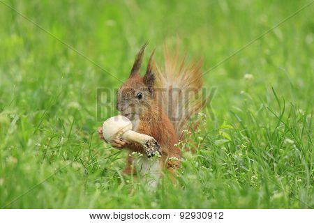 Squirrel Eating Mushroom