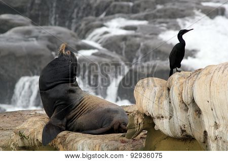 Sea Lion and Cormorant