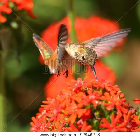 Rufous Hummingbird feeding on Maltese Cross flowers.