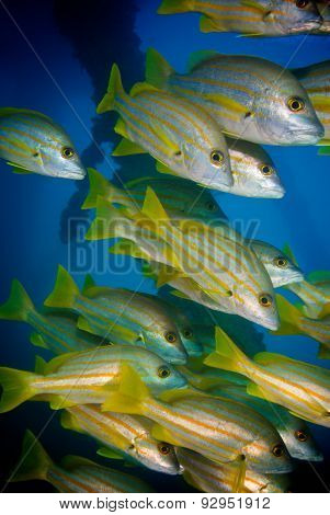 A School Of Stripey Snappers