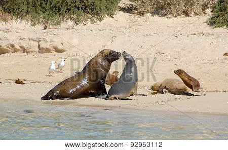 A Group Of Sea Lions in Western Australia