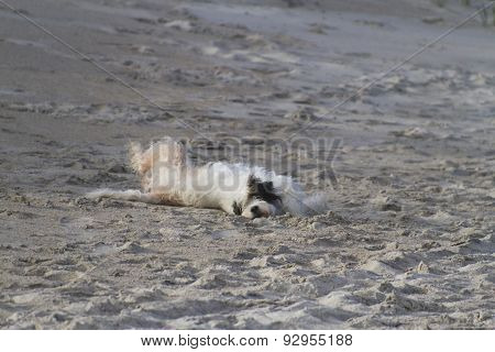 Shaggy Dog Joyfully Rolls Over On The Beach
