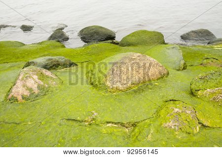 Coast, stones in the algae