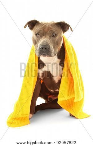 American Staffordshire Terrier with towel isolated on white