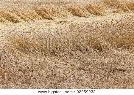 broken wind wheat