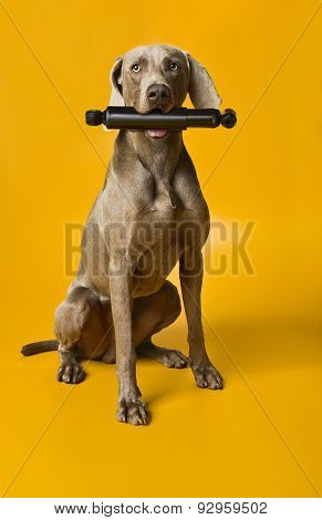 dogs with shock absorber