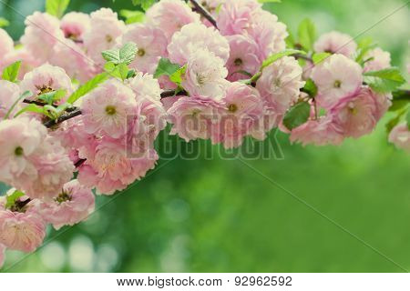 Almond Blooming Tree Branch