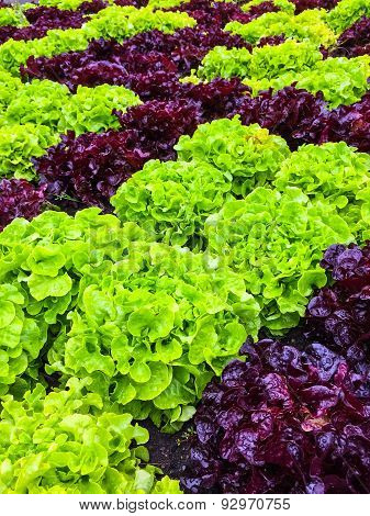 Green And Red Lettuce In The Summer Garden