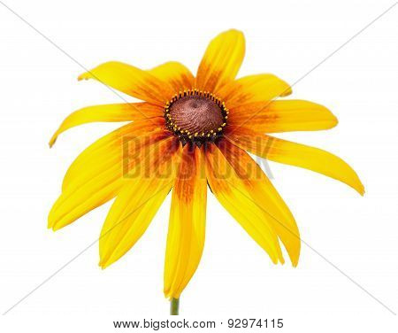 Flower of Rudbeckia hirta isolated on white