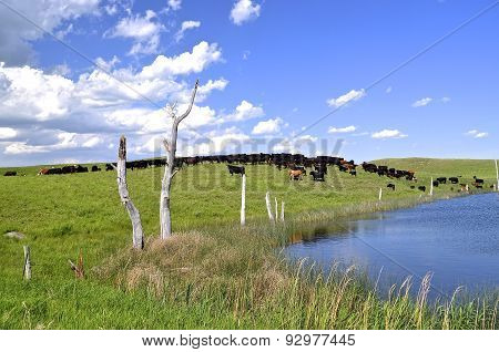 Beef cattle graze a hilly pasture