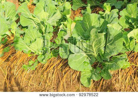 Cabbage  Growing In Home Vegetable Garden