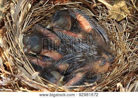 Baby Northern Cardinals