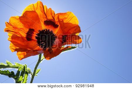 Colorful Orange Poppy Flower against a Blue Sky with Sunshine