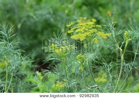 Dill Plant And Flower