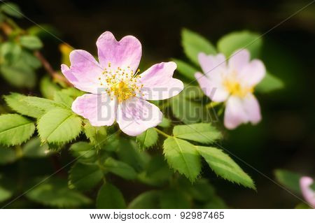Wild Pink Eglantine