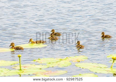 Ducklings On The River