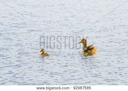 Duck Female And Duckling