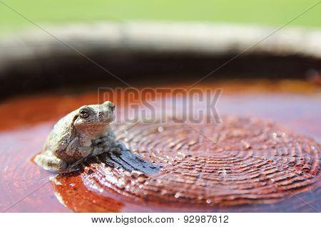 Grey Tree Frog Sitting In Water In Garden