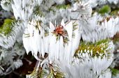 foto of pine cone  - Mountain pine branch with snow - JPG