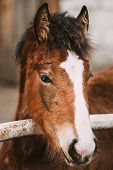 pic of foal  - Close Up Portrait Of Brown Foal Young Horse - JPG