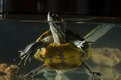 picture of terrapin turtle  - Little green young turtle sitting in aquarium - JPG