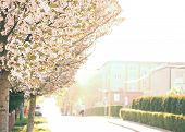 image of tree lined street  - blooming trees in city streets in city streets - JPG