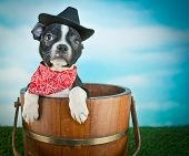 pic of baby cowboy  - Cute little Boston Terrier puppy sitting in a bucket outdoors wearing a cowboy hat and a hanky with copy space - JPG