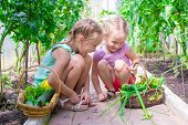 picture of root-crops  - Cute little girls collects the crop cucumbers in the greenhouse - JPG