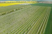 stock photo of apple orchard  - Aerial view on the large blooming apple orchard - JPG