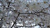 image of dogwood  - Dogwood Flowers in bloom in Fairfield - JPG