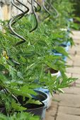 pic of tomato plant  - tomato plant with flowers from small home farm - JPG