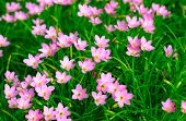 stock photo of lily  - Zephyranthes Lily - JPG