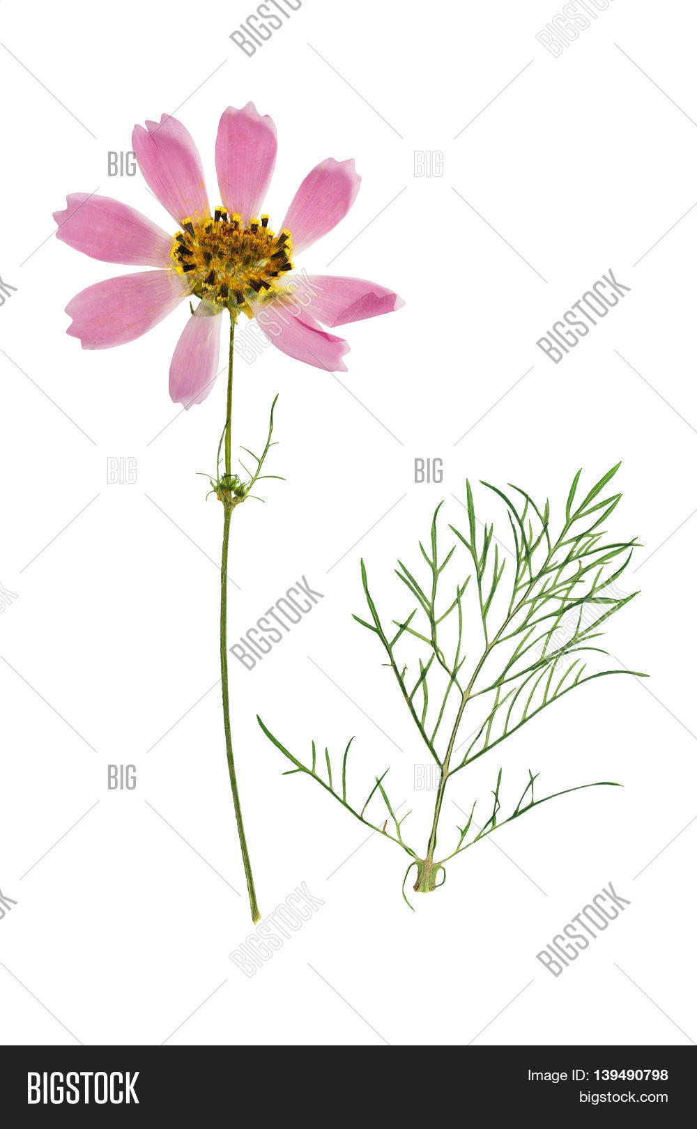 How to scrapbook dried flowers - Pressed And Dried Flowers Coreopsis With Green Leaves Isolated On White Background For Use