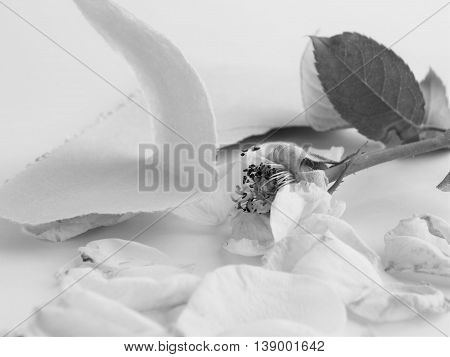 Rose of monotone on white background to imagine the heartbreak